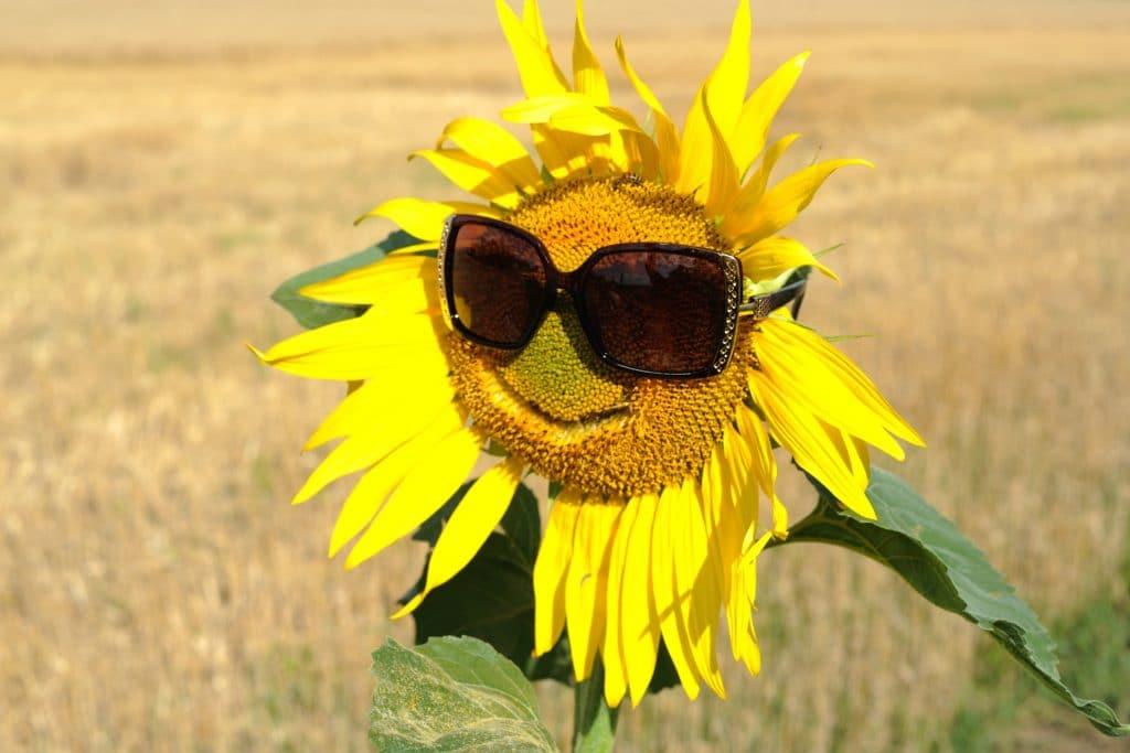 חמנייה בשדה הפתוח עם משקפי שמש